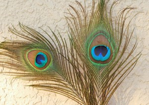 peacock-feathers-photo